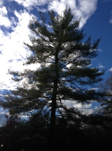 Fir Tree in Monday Mood by Circespeaks